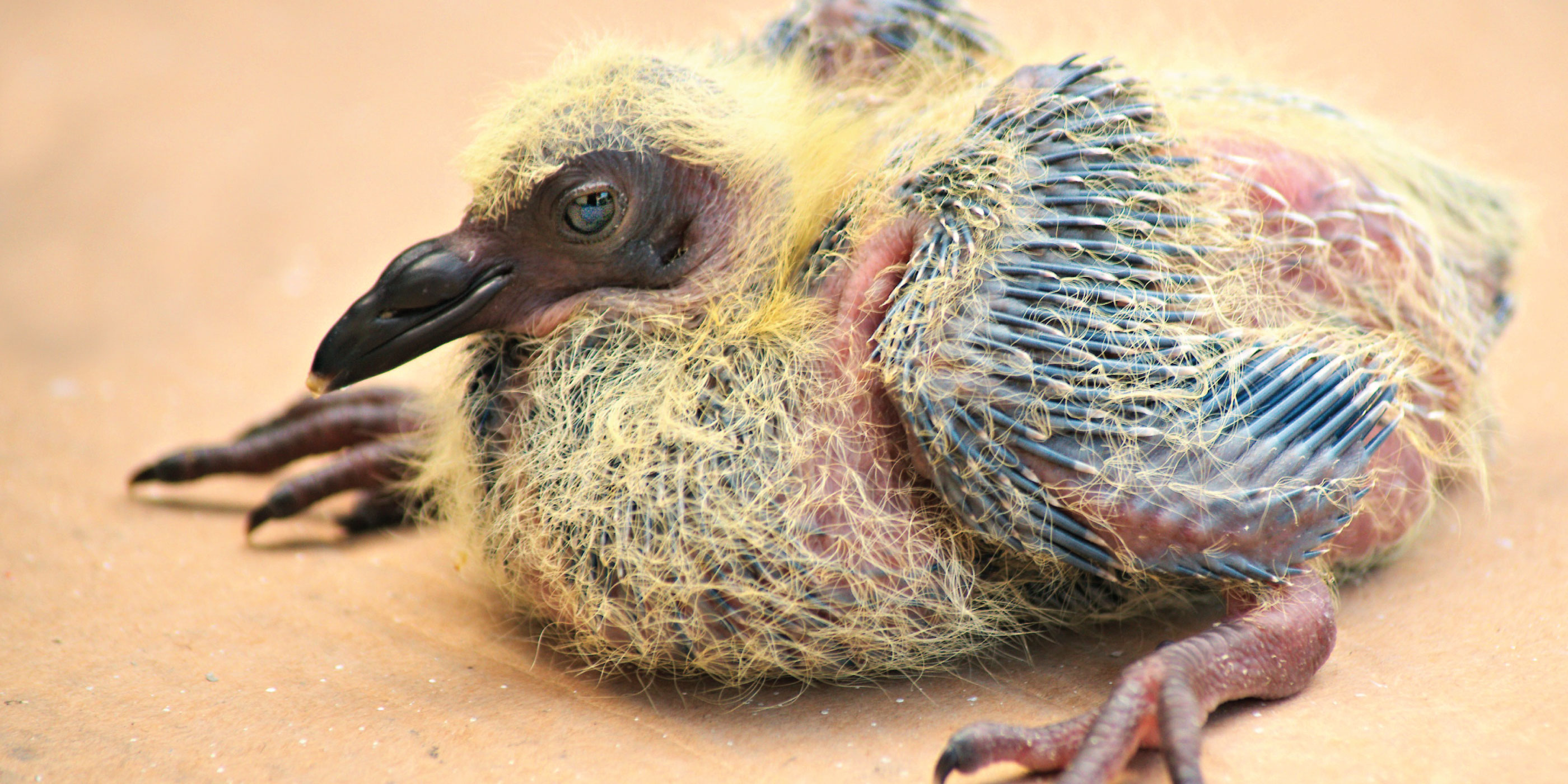 This is What a Baby Pigeon Looks Like - The Bold Italic ...